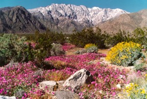 Chino Canyon Wildflowers - Picture taken by Bill Havert
